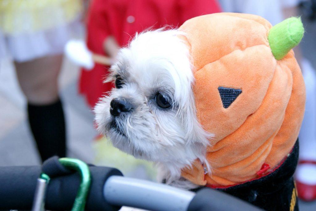 ハロウィンのかぼちゃ帽子をかぶったワンコ。
